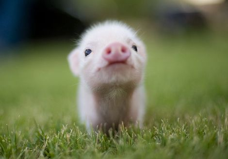 chin up piggy